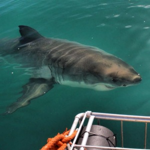 Marc snapped this awesome shot of a shark approaching our boat